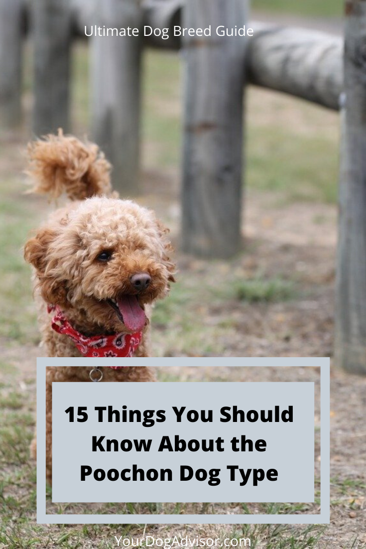 15 Things You Should Know About The Poochon Your Dog Advisor In 2020 Poochon Dog Poodle Mix Breeds Poochon Puppies