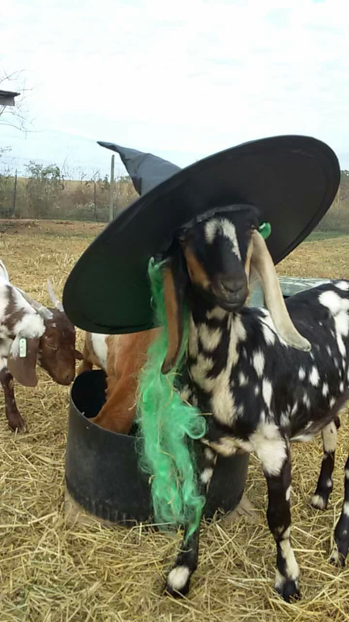The Ultimate List Of Things You Should Know About Goats Pet