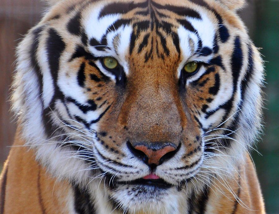 Pinterest WFPARADISE Tiger, Animals