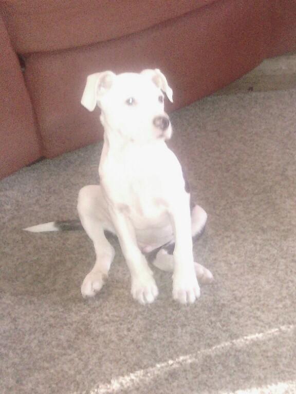 Adopt Chopper On Dogs Adoption Labrador Retriever