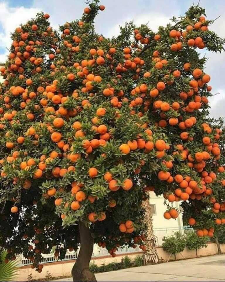 الرارنج الفاكهه الشعبيه العراقيه Pumpkin Patch Outdoor Pumpkin