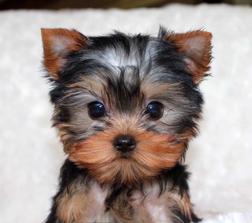 Micro Teacup Yorkie Puppy For Sale Cyaras Board Pinterest