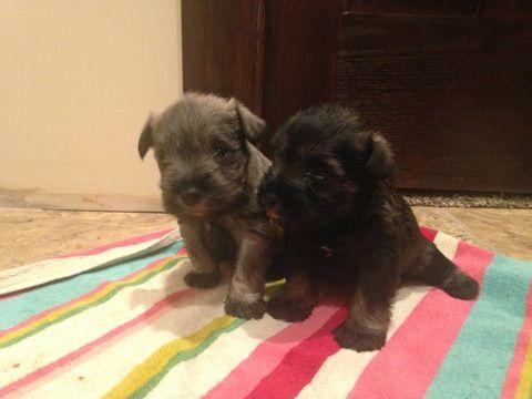 Litter Of 3 Schnauzer Miniature Puppies For Sale In Bemidji Mn Adn 22694 On Puppyfinder Com Gender Male S And Miniature Puppies Puppies For Sale Puppies