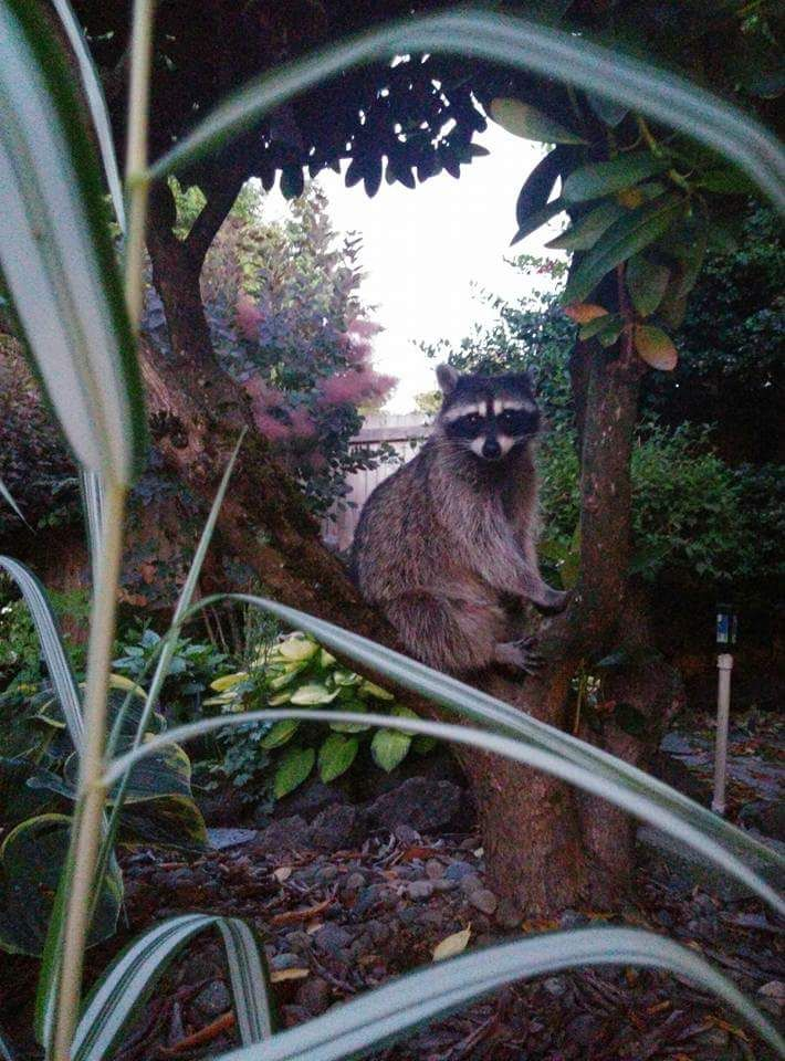 Not enough raccoons on r/aww. Reddit meet Roxie.