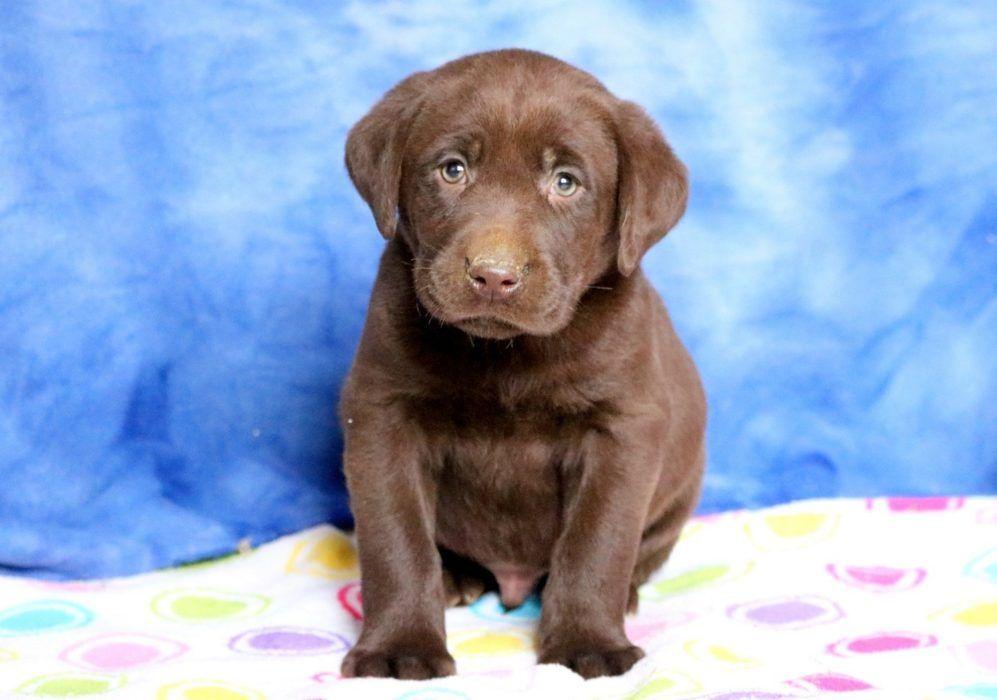 Thunder Health Guaranteed Keystone Puppies Choclab