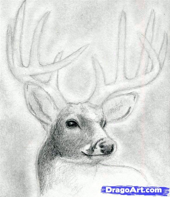How to draw a deer head buck dear head step 7