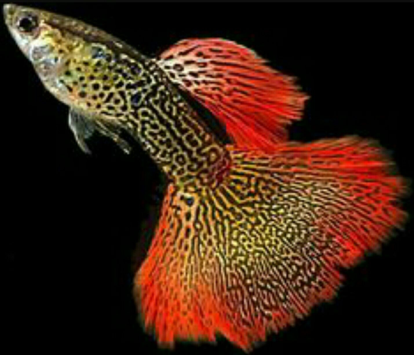 Guppy, Red Lace | Fishies | Pinterest | Guppy