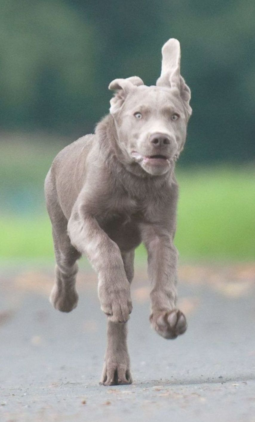 Beautiful Young Silver Lab Galloping Towards His Master Unaware Of The Controversy That Surrounds His Ancestry Coolcanine Hot Silver Labrador Retriever Lab Puppies Labrador Retriever