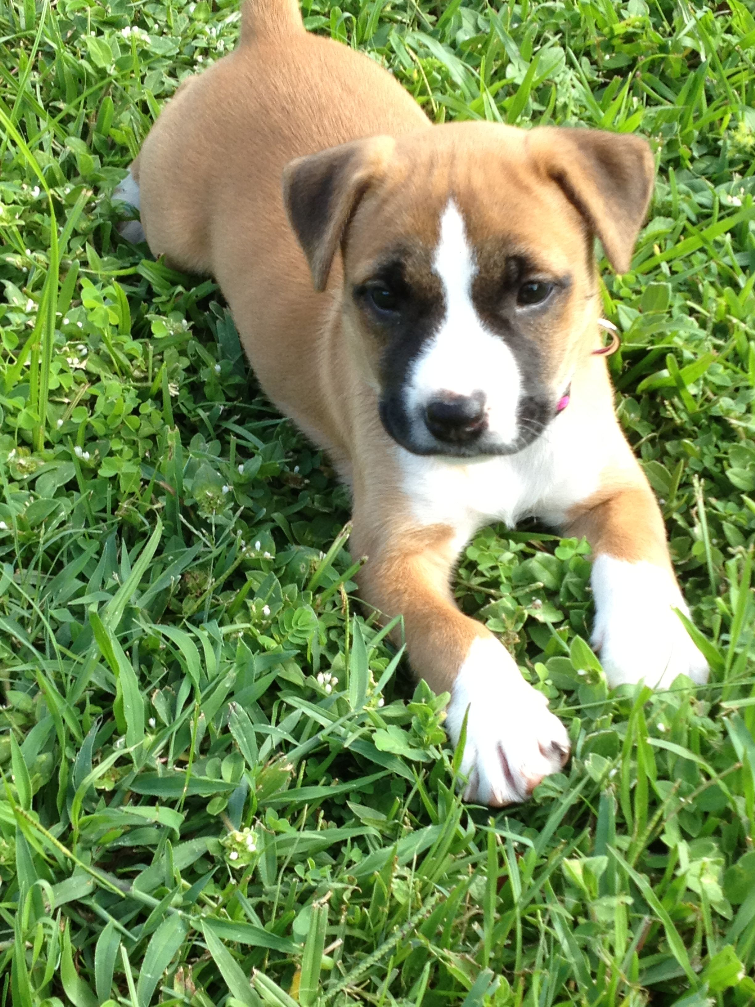 Our Newest Addition Gava Pitbull Boxer Mix Pitbull Boxer Puppies And Kitties Pitbull Boxer Mix