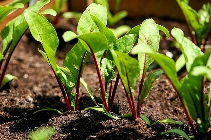 как посадить астру семенами в открытый грунт