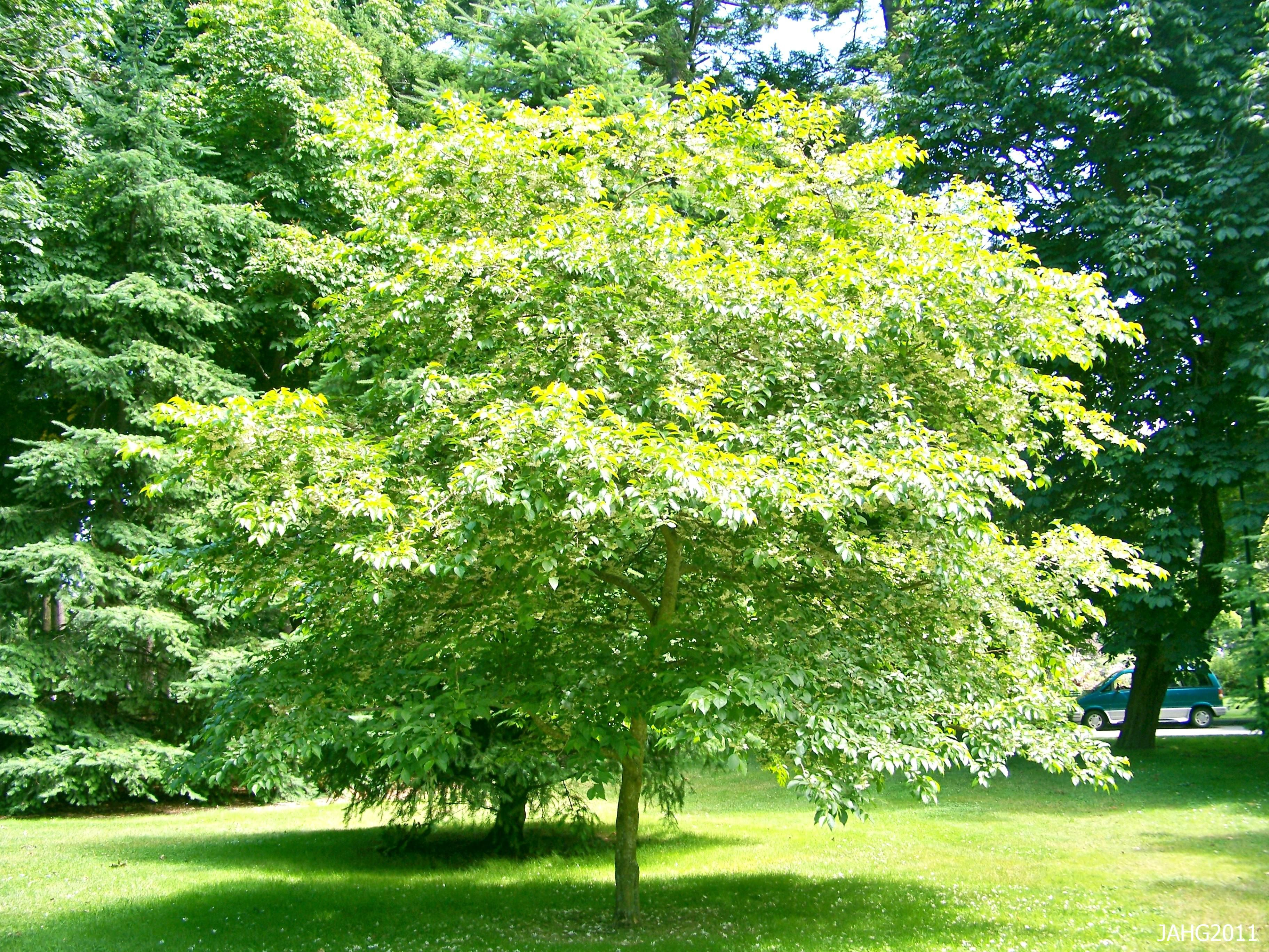 styrax japonicus japanese snowbell tree Google Search