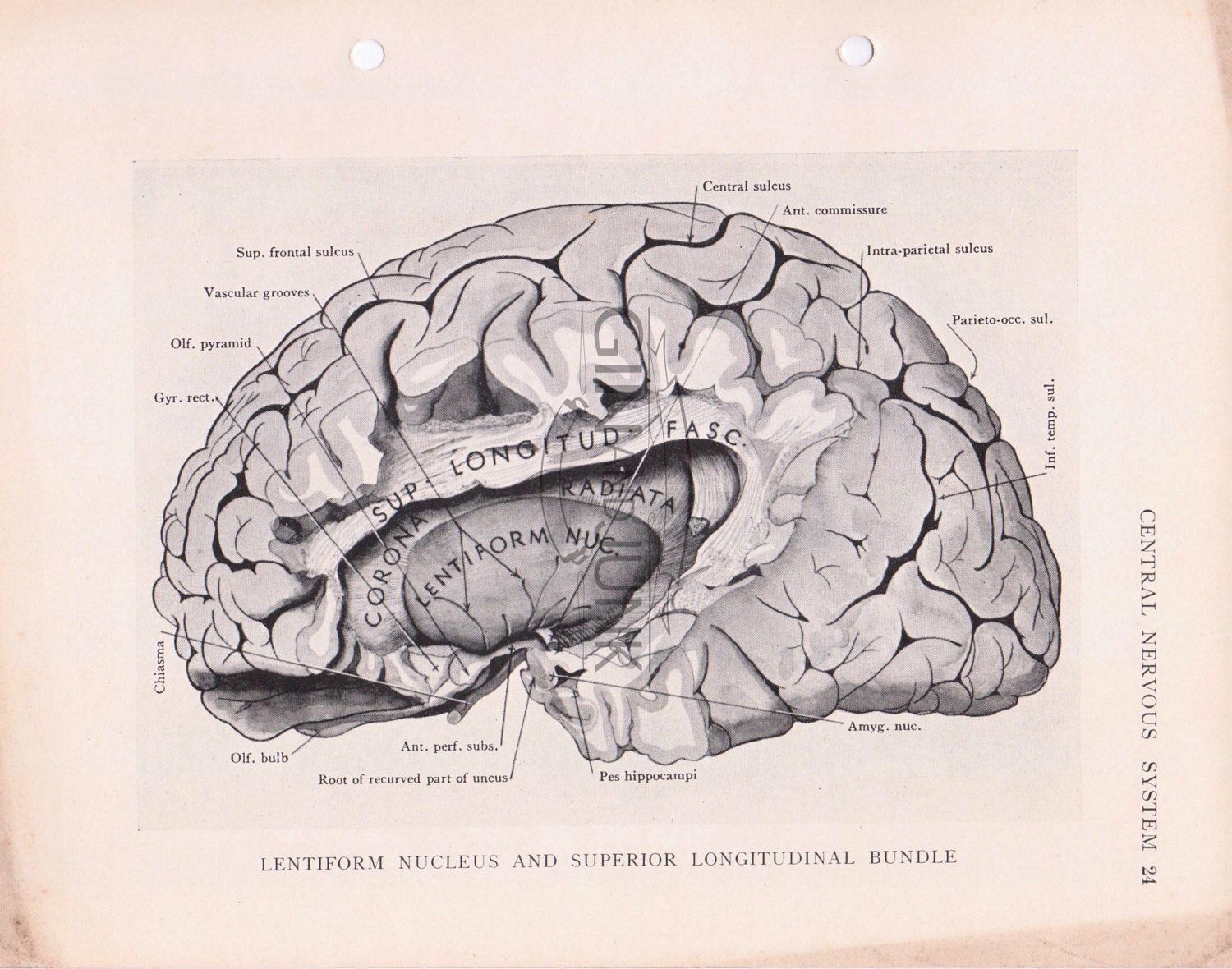 Vintage monochrome scientific diagram of a cross section of the vintage monochrome scientific diagram of a cross section of the human brain and lentiform nucleus from ccuart Images