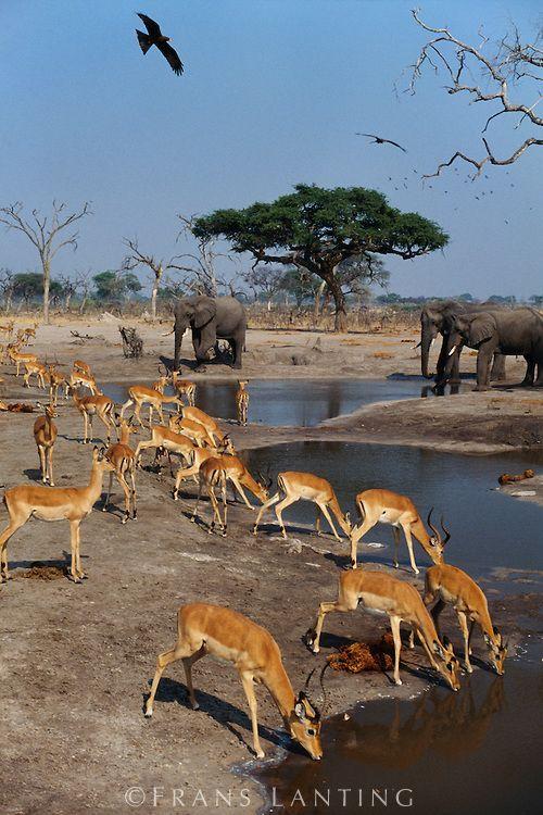 Elephants, Loxodonta africana, and impalas, Aepyceros melampus, at waterhole, Chobe National Park, Botswana. Photograph: Frans Lanting