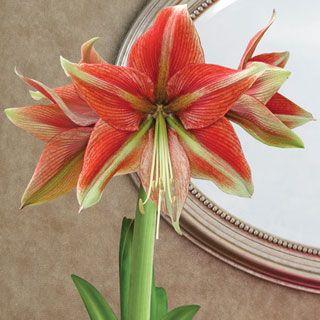 Grand Trumpet Opal Star Amaryllis Bulb At Wayside Gardens Amaryllis Bulbs Amaryllis Amaryllis Christmas