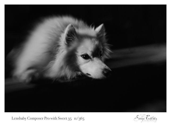American Eskimo Dog Lensbaby Sweet 35 Northwest Arkansas Pet Photographer