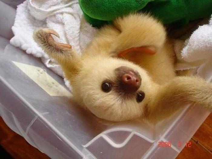 Baby sloth. SO cute!