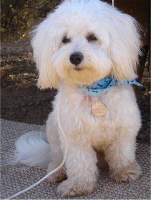 Lani The Havachon At 10 Months Old Unique Dog Breeds Havanese