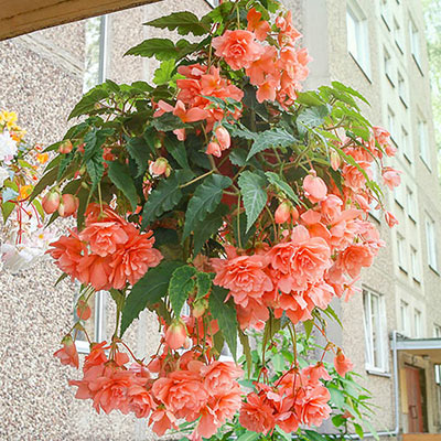 Double Hanging Basket Begonias Apricot K Van Bourgondien In 2020 Hanging Flower Baskets Plants For Hanging Baskets Hanging Plants