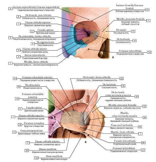 vmede.org sait ?page=2&id=Anatomija_bili4_t1&menu=Anatomija_bili4_t1 | Анатомия человека