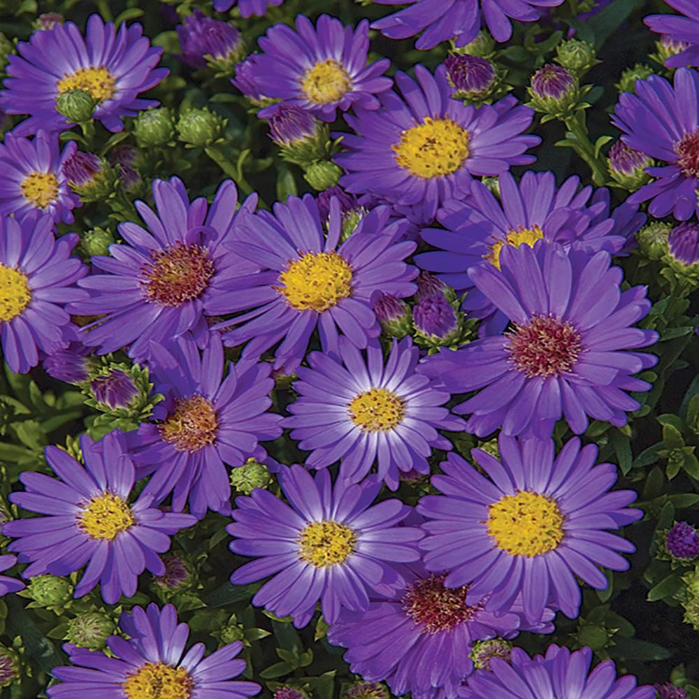 2 5 Qt Believer Blue And Purple Aster Plant 21440 The Home Depot In 2020 Plants Blue And Purple Purple