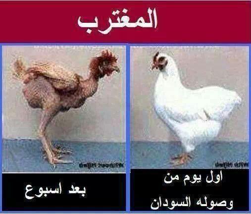 حال المغترب السوداني قبل وبعد الاجازة Animals Rooster Labels