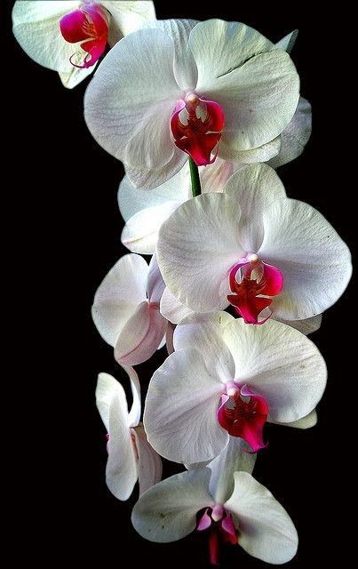 Hawaii Orchid. Playful little red faces