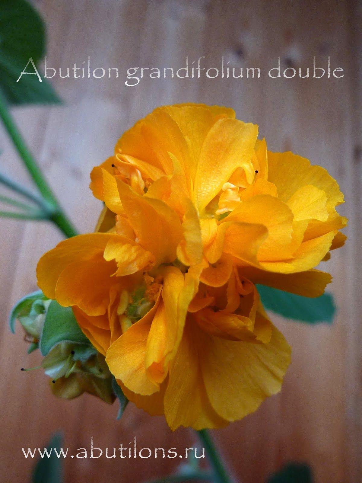A Grandifolium Abutilon Species Garden Plants Propagation