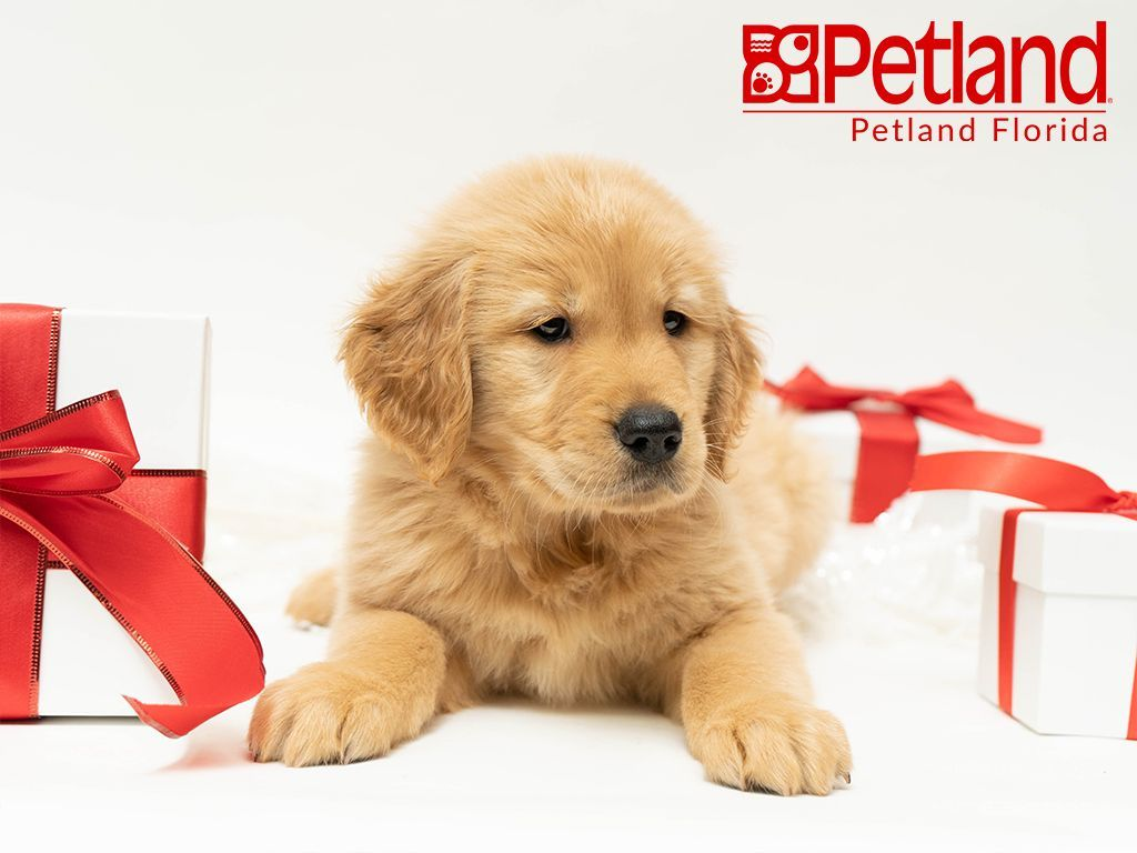 Puppies For Sale Puppies Puppy Friends Golden Retriever