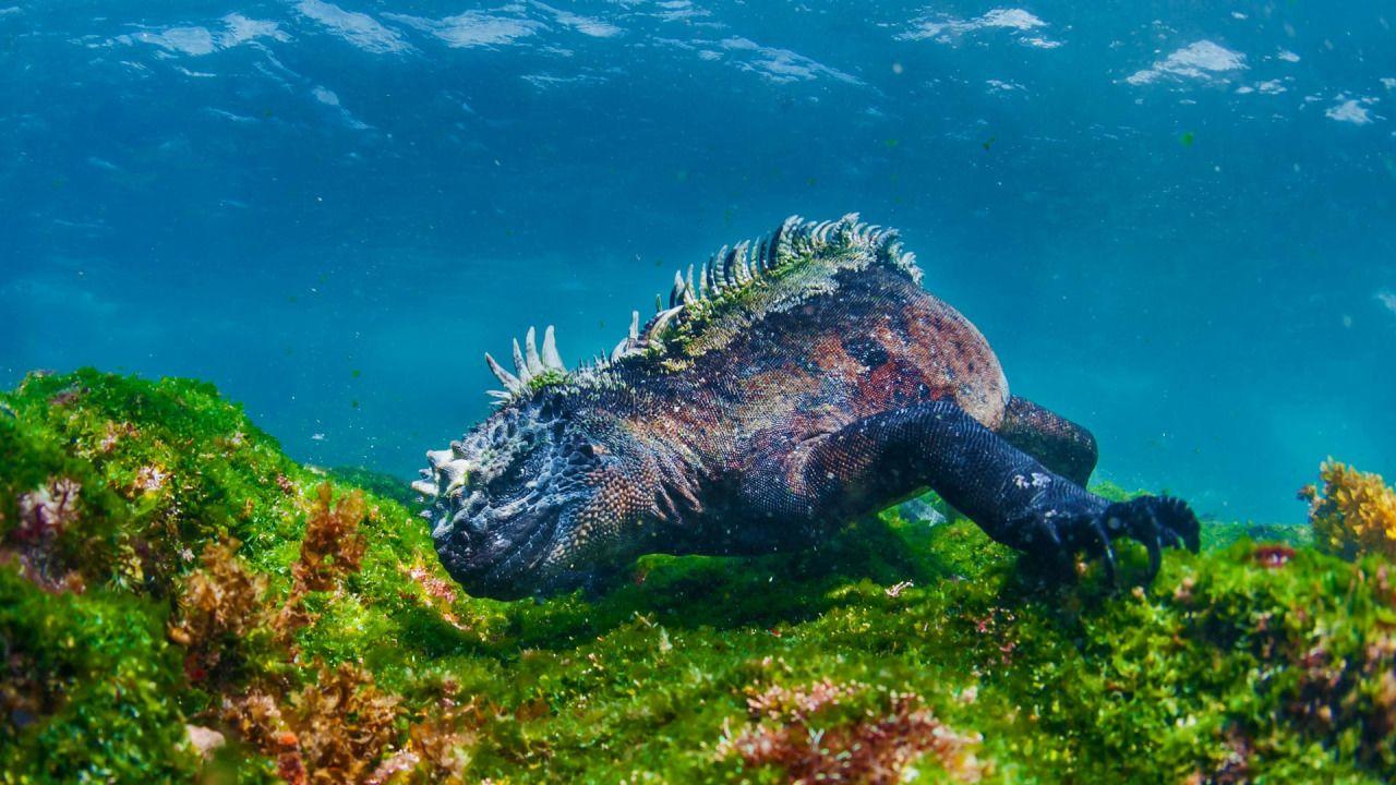 Marine Iguana Eating Algae Off Fernandina Island イグアナ 動物 海