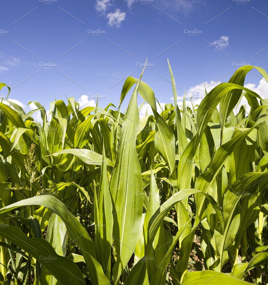 Agricultural Field With Green Corn Green Field Corn