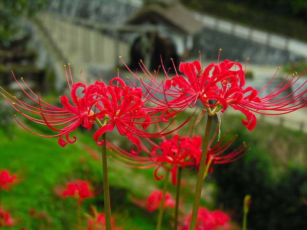 Flower photography red spider lily flowers lycoris radiata flower photography red spider lily flowers lycoris radiata flowers 1024768 wallpaper 1 izmirmasajfo