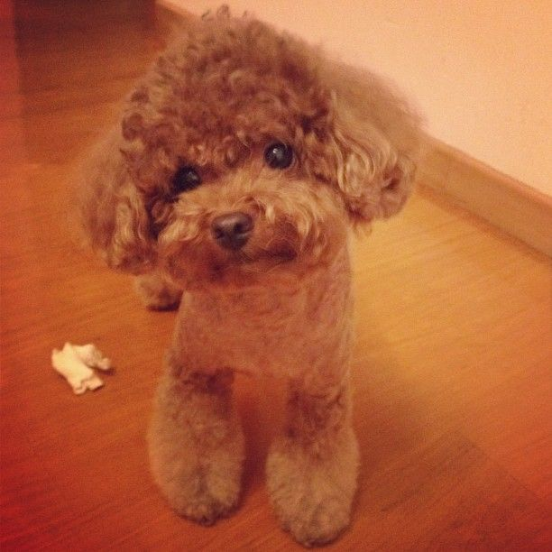 Pin By Julie Ko On Poodle Poodle Puppy Poodle Cute Animals