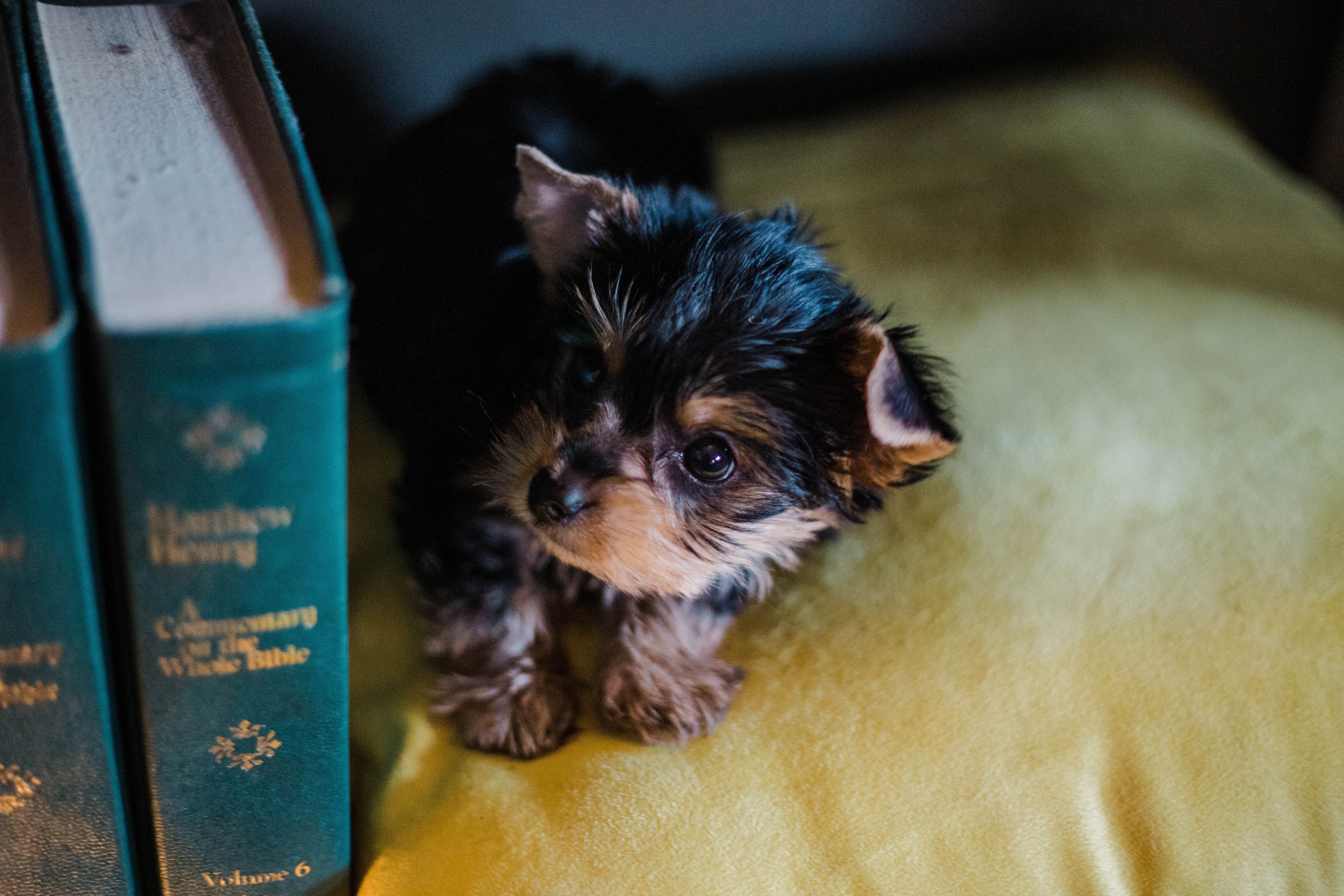 Yorkie puppy! So cute! Free puppies, Dog daycare