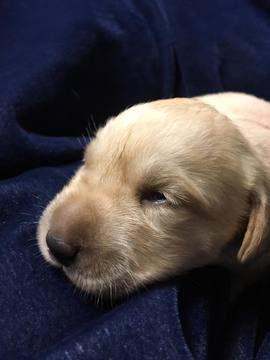 Labrador Retriever Puppy For Sale In Monroe Ga Adn 28486 On