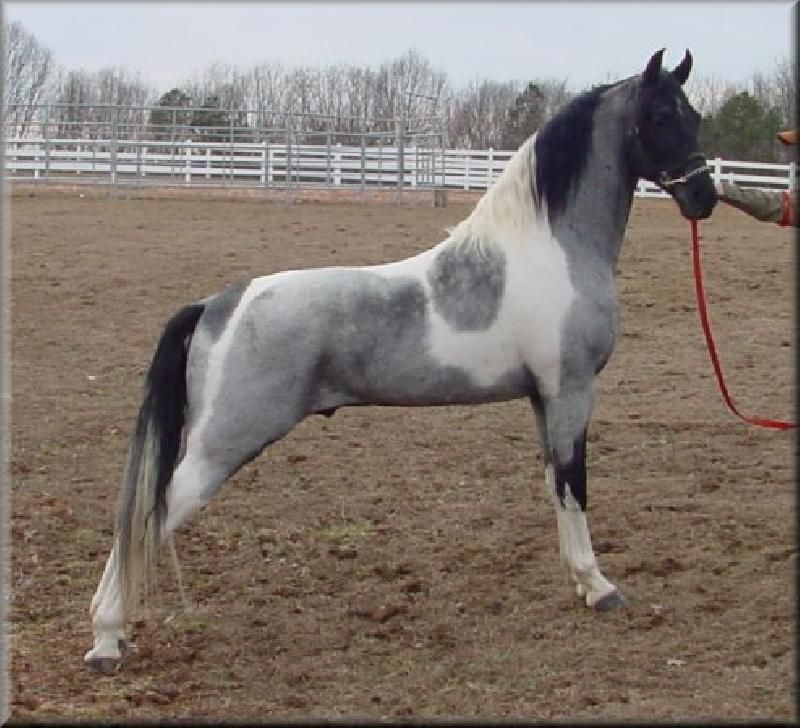 Blue Roan Homozygous Tobiano Tennessee Walking Horse ...