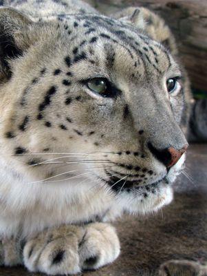 Snow leopard (profile I)