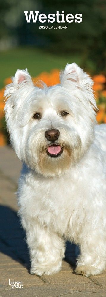 Like Many Other Terriers The West Highland White Terrier Originates From Scotland Westies Have A Happy Dispositio Free Reading Free Calendar Download Westies