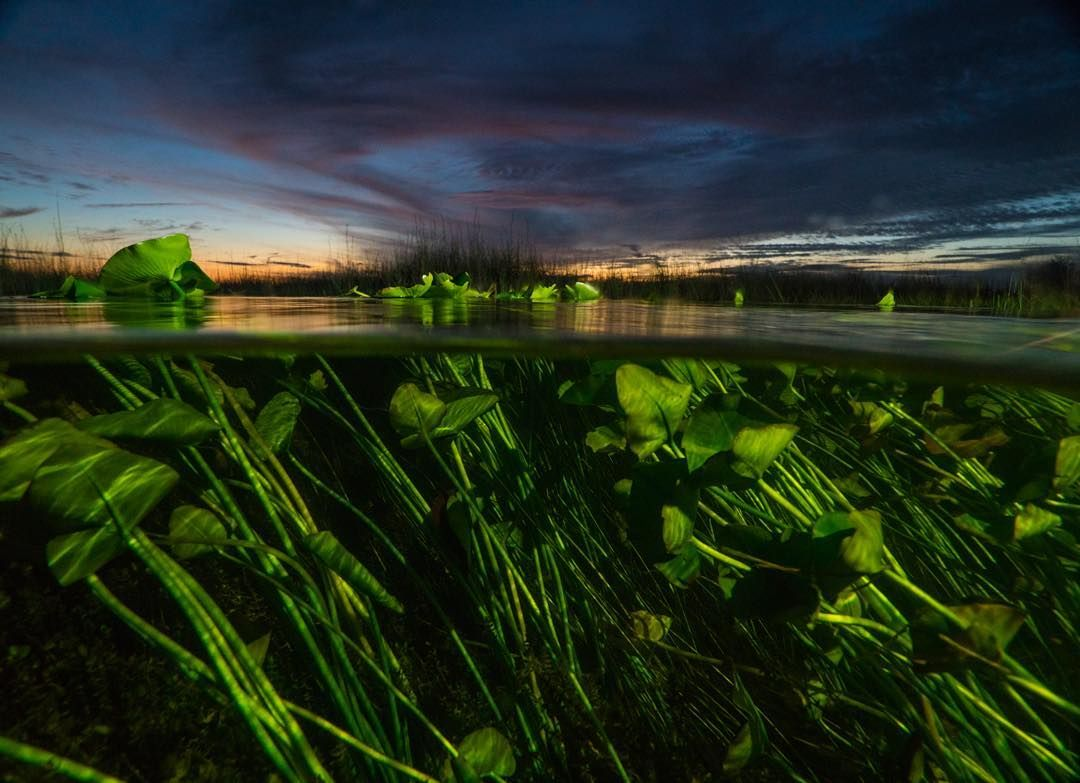 Photo @ladzinski / An over/under perspective of water lilies at twilight in #evergladesnationalpark Florida. It's the third largest national park in the lower 48 states protecting 20 percent of the original Everglades. The park is bustling ecosystem home to over 30 protected species the largest mangrove in the Western Hemisphere and teaming with wildlife. Excited to be here all week on assignment documenting this beautiful place. @andy_mann @3stringsproductions by natgeo