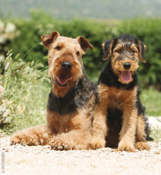Airedales Have An Impressive Ability To Catch Vermin Even In The