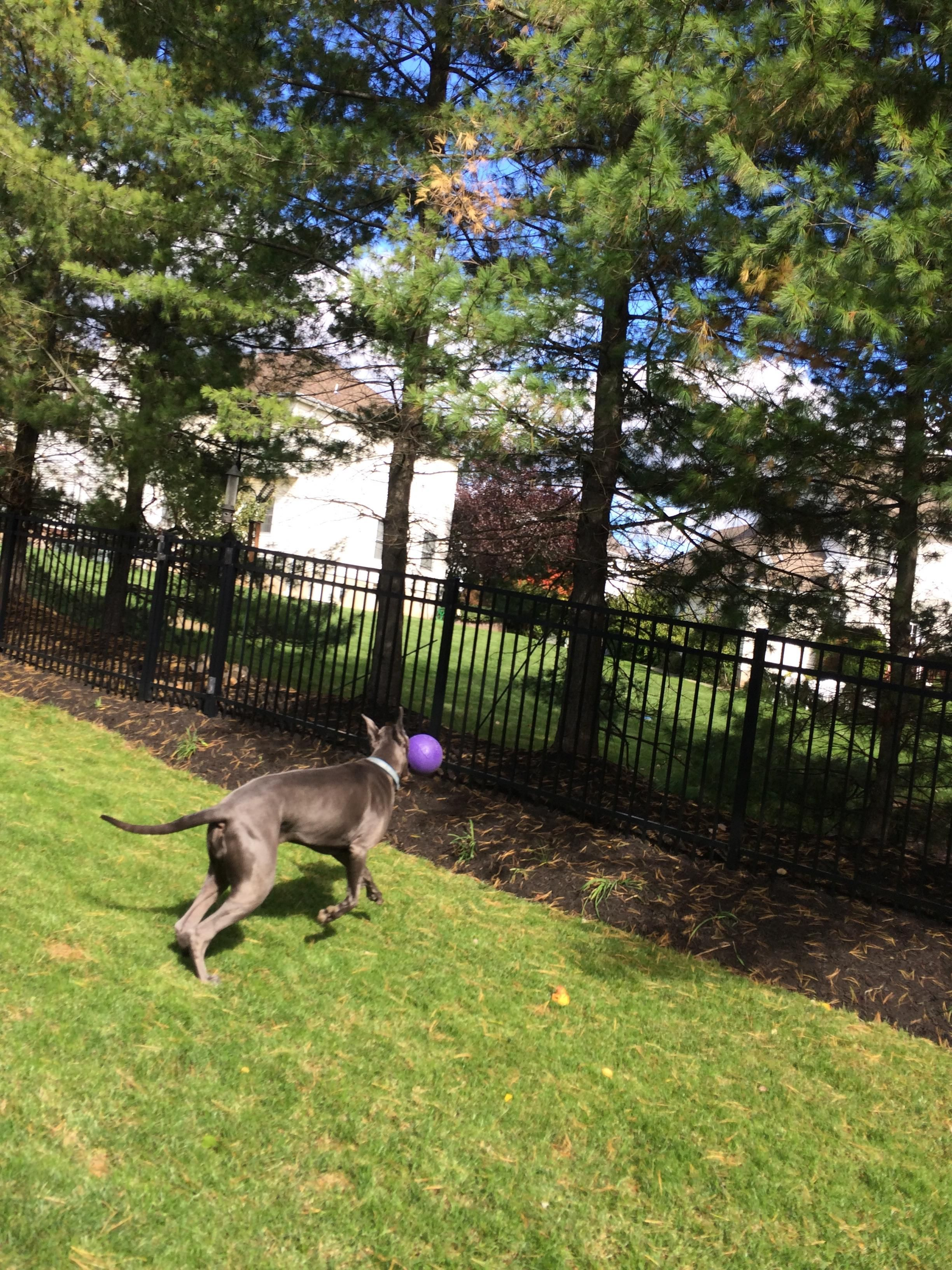 Just Playing With My Great Dane Today And Got A Nice Action Shot