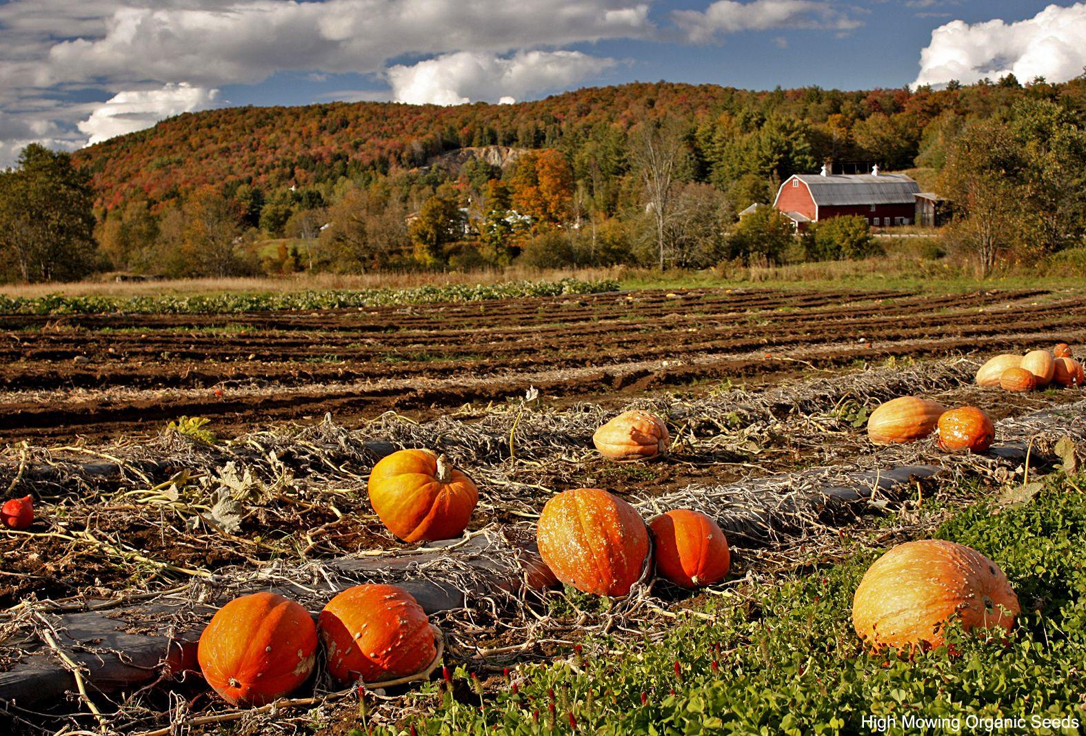 Organic Big Max pumpkins growing in the High Mowing