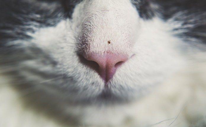 How To Get Rid Of Fleas Cat Nose Cat Pee Fleas