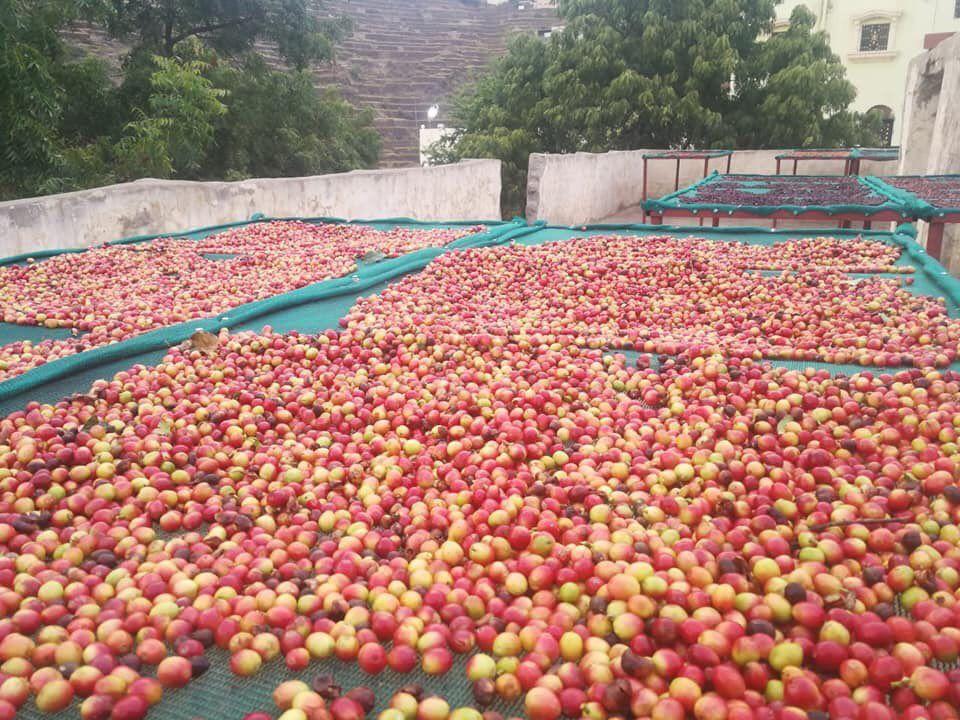 250 طن ب ن عالي الجودةمن 75 ألف شجرة لـ 700 مزارع تزين جبال محافظة الدائر بني مالك بمنطقة جازان و أرامكو تساند بإقامة مصنع و زراعة 30 Fruit Saudi Arabia Apple