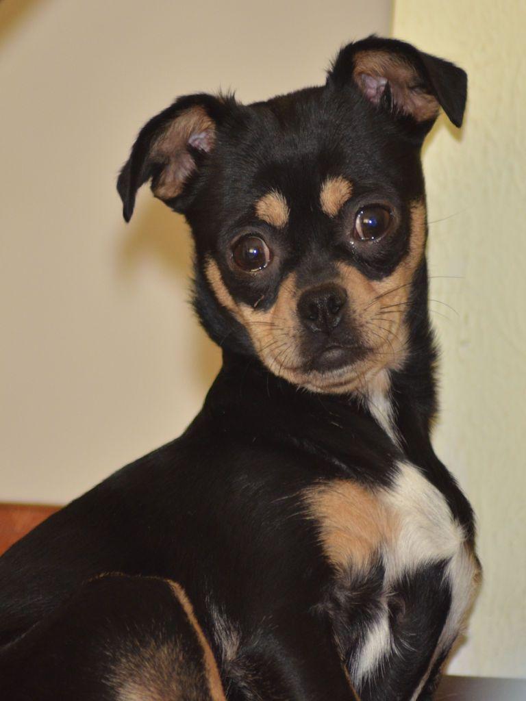 Chug dog for Adoption in Colorado Springs, CO. ADN422713