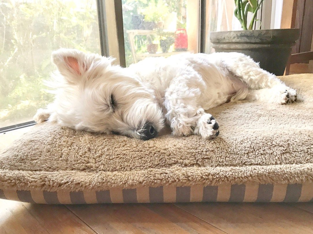 ウェスティのクゥちゃん8歳です 窓際でお昼寝するのが大好きです 今年プレミアムベッドデビューをしたクゥちゃんにとって初めての冬となります 暖かい冬用ベッドカバーでいい夢みてね ウェスティ 犬 お昼寝