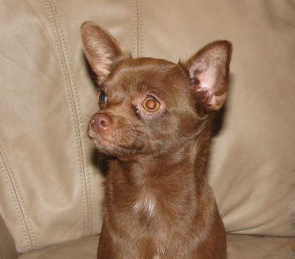 Raisin Lineals Raisinette Chocolate Smoothcoat Chihuahua Jewel