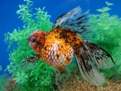 Pearlscale Goldfish Aquarium Fish Fish Pet