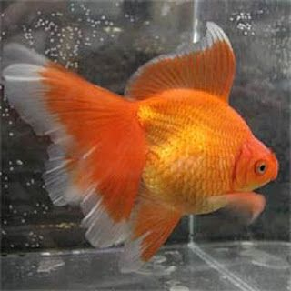 Veiltail Goldfish Veiltail Goldfish Ryukin Goldfish Goldfish