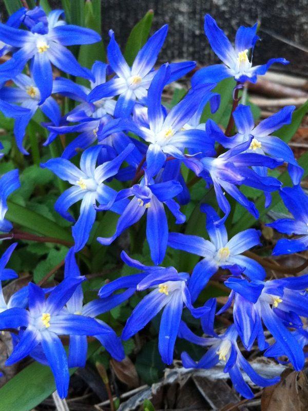 Blue Star Flower Blue Flowers Blue Flowers Images Blue Plants