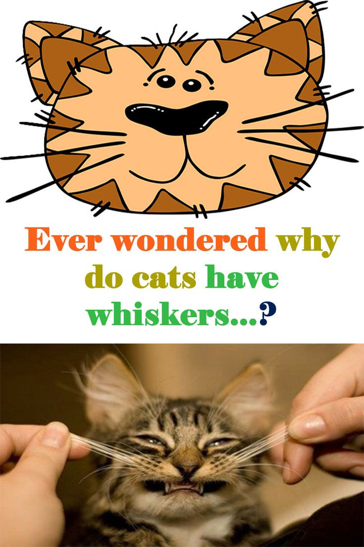 """Why Do The Cats Have """"MUSTACHE"""" (Called Whiskers"""